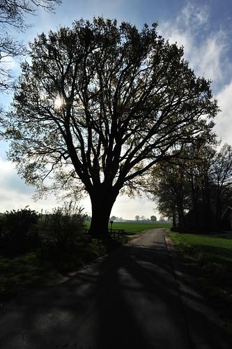 Oak tree, Osnabrücker Land, Lintern