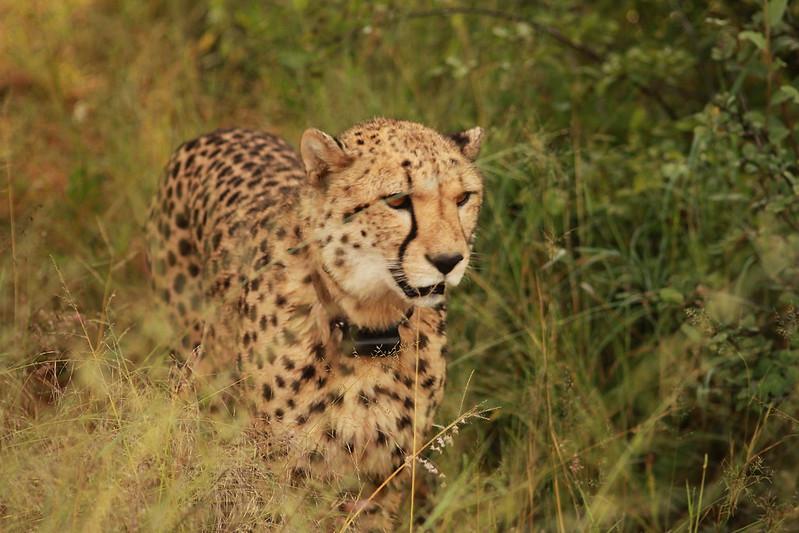 Cheetah Namibia 04/14