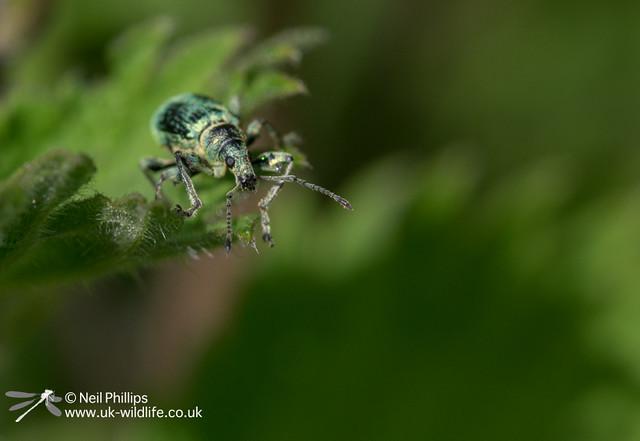Nettle weevil-4