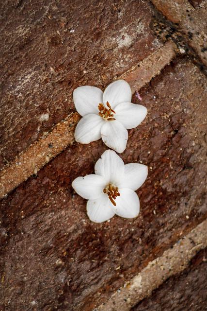 5/18/16 Little White Blossoms