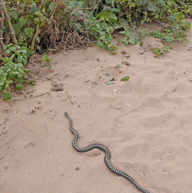 Adder at Bantham 1