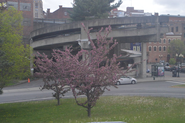 Pink flowering tree blooming in the capital city of Albany, New York, USA