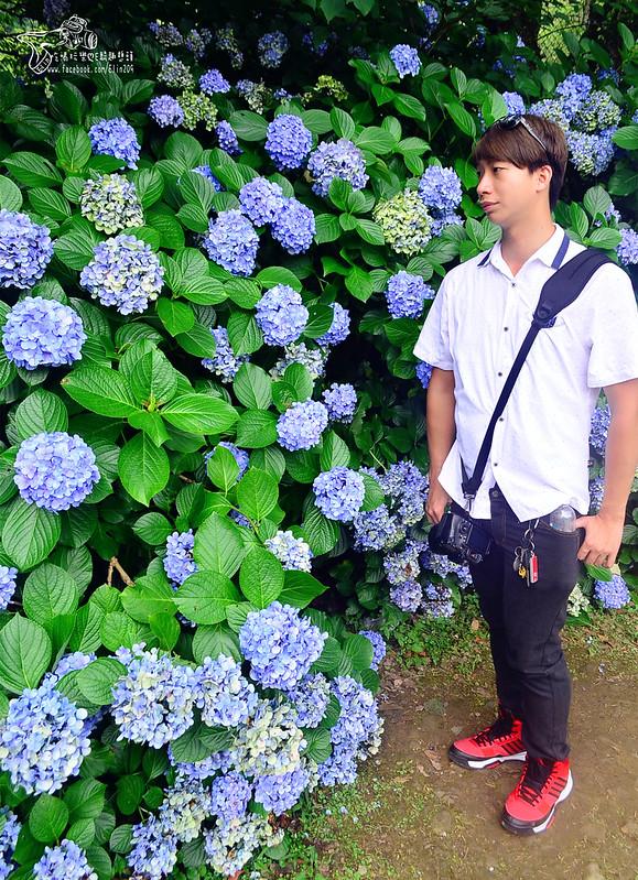 繡球花 (18)