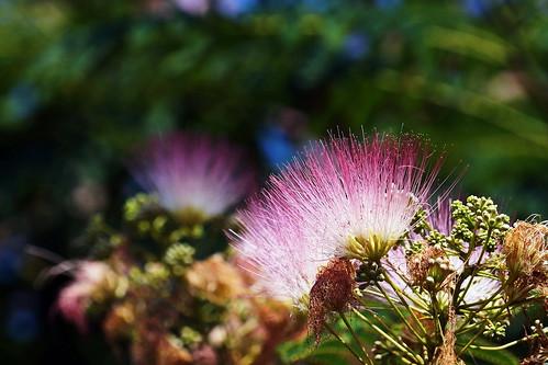 flower tree mimosa silktree albiziajulibrissin persiansilktree