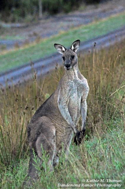 A big boy kangaroo watching me