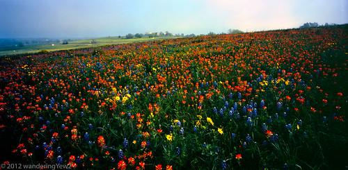 flower 120 film mediumformat landscape geotagged texas bluebonnet panoramic wildflower filmscan indianpaintbrush texaswildflowers 21panoramic 6x12 austincounty horseman612 horseman6x12 colorsinourworld horseman6x12panoramiccamera geo:lat=29972106720664048 geo:lon=965262037218323