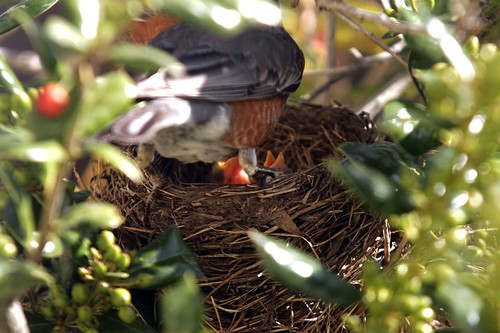 Baby Robin Birds, Baby Robin Birds hungry mother, Baby Robin Birds Parents, Robins nest - I spy eggs! getting supplies to build the nest, Robins nest, baby birds, robin, robins, robin birds, robin baby birds, nest, worms, tree, hatching birds, eggs, hatching robins, fence, male, nest, nest building, blue, robins egg blue, blue egg, blue eggs, male, female, beak, open beak, hungry bird