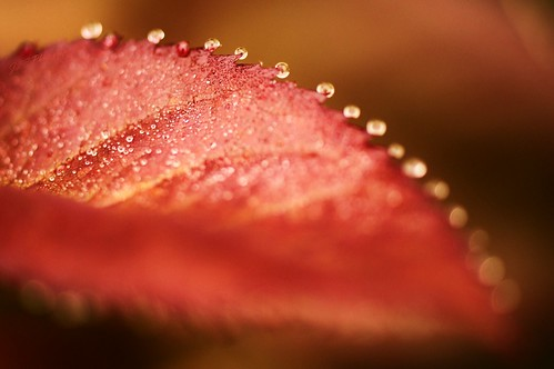 Droplets on a Rose Leaf