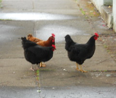 Free range chickens(3)