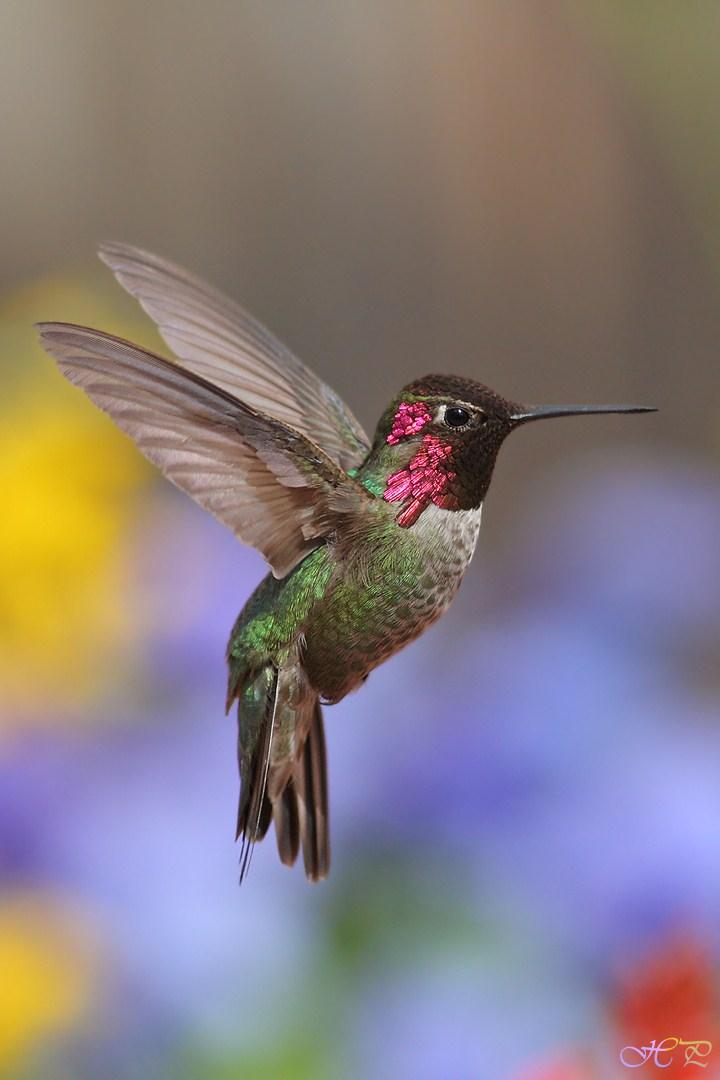 Anna's Hummingbird 032012-2