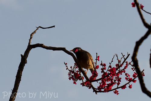 梅食べてるヒヨドリ