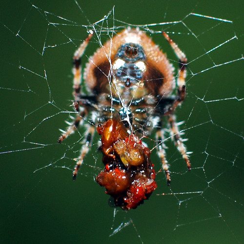 Spider having meal
