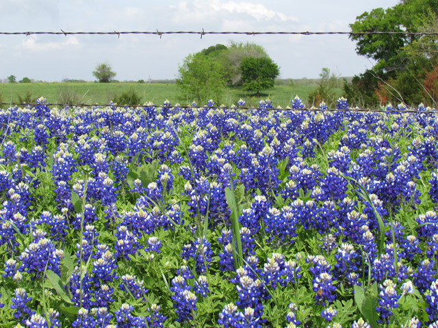 bluebonnets mar2012 3