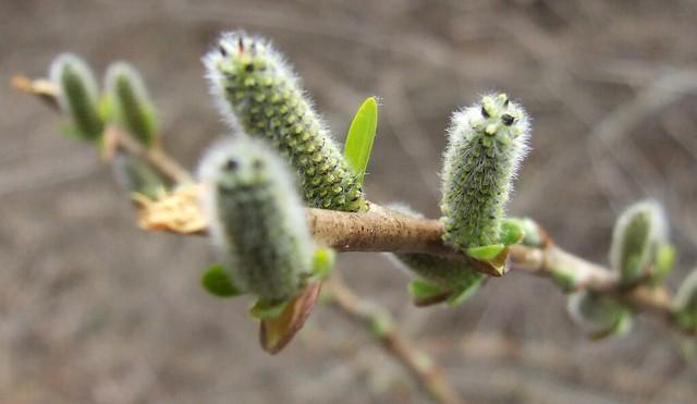 Rachita(Salix fragilis)