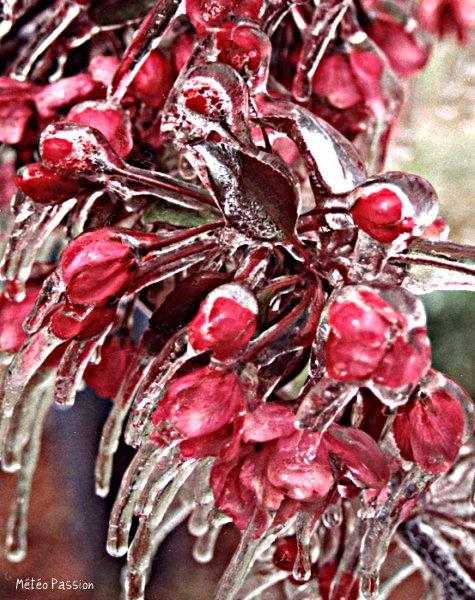 gangue de glace protégeant des fleurs de pommier du gel printanier météopassion
