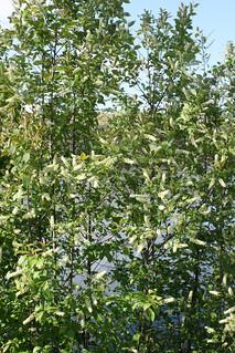 Chokecherry bushes