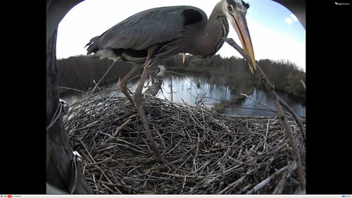 Great Blue Heron nest cam