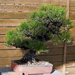 Bonsai-Pino-Jardi Botanic de BCN 29