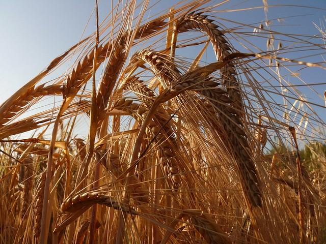 Trigo espigas cereales (2)