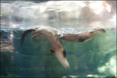 Panning with Otters (Lontra canadensis)