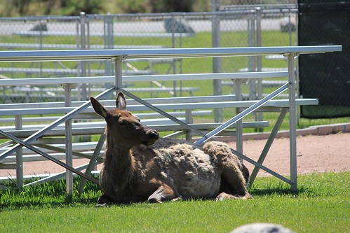Elk in the Bleachers