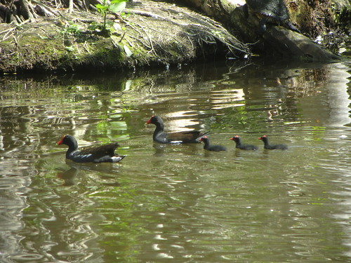 moorhen chicks get found