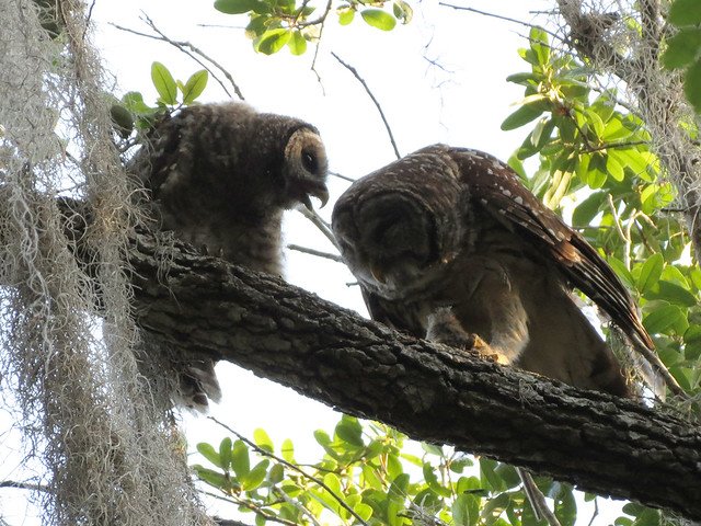 Barred Owl adult feeding baby