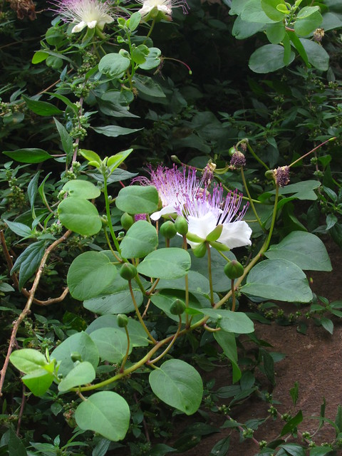 Capers in bloom