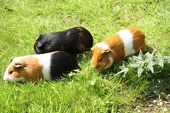 animal, guinea pig, grass, rodent, fauna,