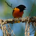 Baltimore oriole by Jamuudsen