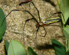 Spiders with parasite grub