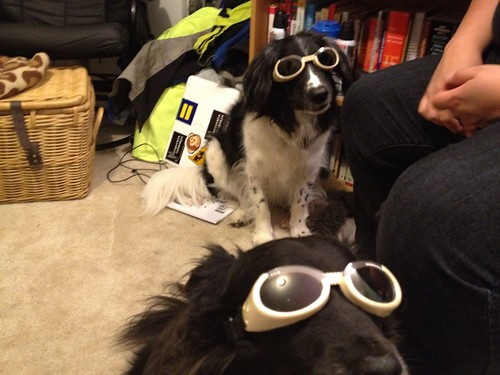 Acclimating the dogs to Doggles