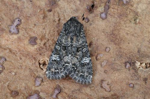 Cabbage Moth (Mamestra brassicae)