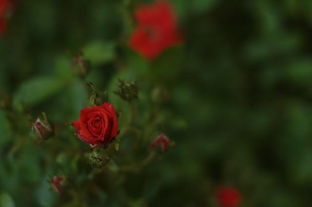 140/366: Rosa de pitiminí