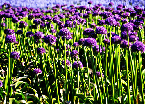 05-20-12 Allium Field by roswellsgirl