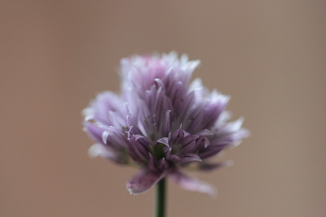 chive goodness