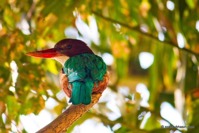 White-throated Kingfisher (Halcyon smyrnensis) also known as the White-breasted Kingfisher or Smyrna Kingfisher by Pranav Bhasin