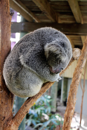 Sleepy drop bear