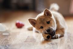 animal, puppy, dog, shiba inu, skin, pet, mammal, close-up,