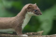 [フリー画像素材] 動物 1, 哺乳類, イタチ ID:201206080400