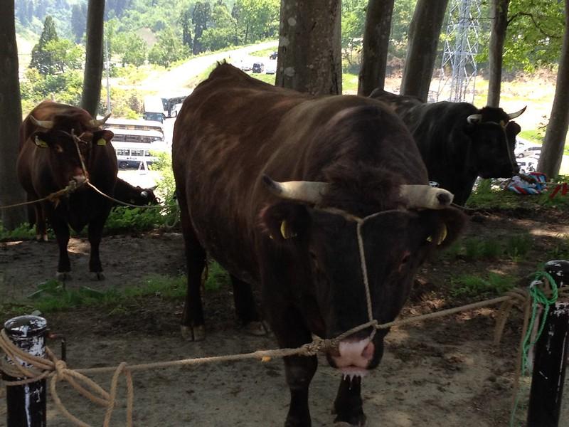 闘牛場の牛