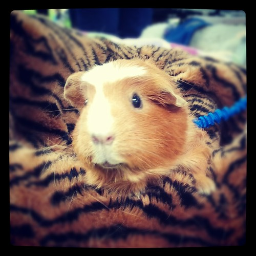 Butterscotch, Therapy Guinea Pig by Jodi K.