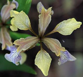 Symmetrical Iris