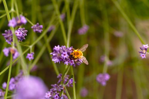 Lavender and a honeybee by leicadaisuki