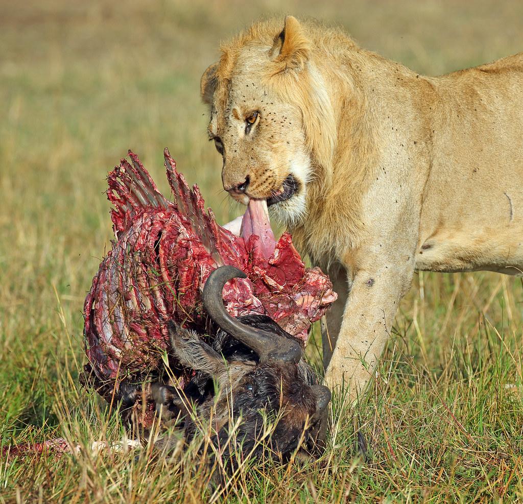 Young male lion Masai Mara