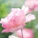 Rosa en rosa... by MARISA1005