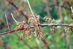Coriariaceae