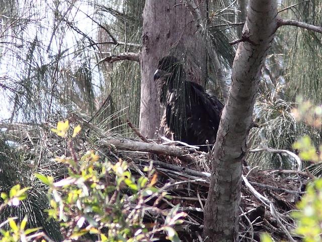 Bald Eaglet 20120320