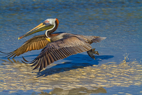 Brown Pelican-1423-1E.jpg