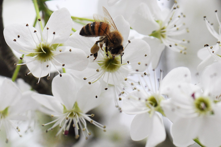 web_bee_blossomsWV_0016